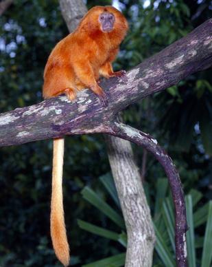 Gro§es LšwenŠffchen auf einem Urwaldbaum im Amazonaswald