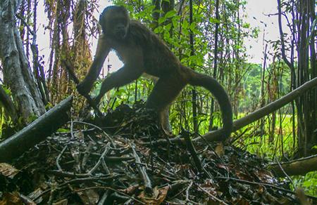 Macaco Prego_Divulgacao Instituto Mamiraua