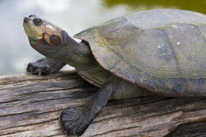 Closeup of river turtle in the Bolivian jungle (Rurrenabaque region). Bolivia