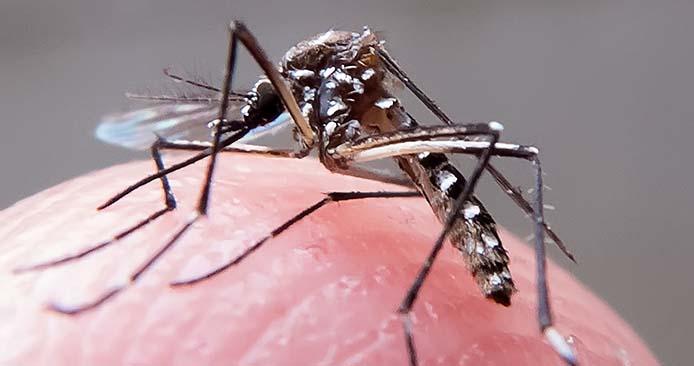Aedes aegypti_Rafael Neddermeyer Fotos Publicas