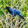Azurblaurabe – Gralha-azul | Foto: sabiá brasilinfo