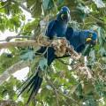 Hyazinthara – Arara-azul-grande | Foto: sabiá brasilinfo