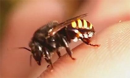 Biene ohne Stachel