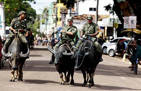 Búfalos Marajó -  Foto: Sidney Oliveira / AG Pará