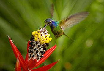 Kolibri-Nektar