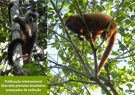 Primaten auf roter Liste_IC