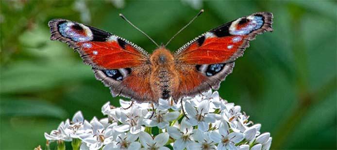 Schmetterling_sabia brasilinfo