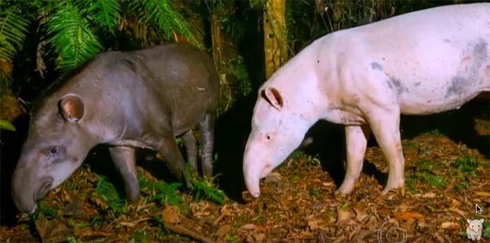 Tapir und Albino-Tapir_Handout Video
