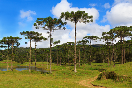 Araucaria angustifolia - Foto:  jantima / Fotolia.com