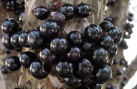 Früchte des Jabuticaba Baumes - Foto: sabiá brasilinfo