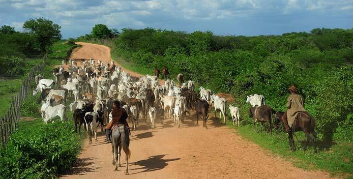 Kuhherde in Mato Grosso - Foto: Fernando Frazão/AgenciaBrasil