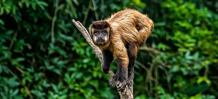 Macaco Prego (Kappuzineraffe) - Foto: sabiá brasilinfo