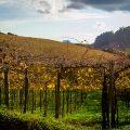 Die Geschichte des brasilianischen Weins