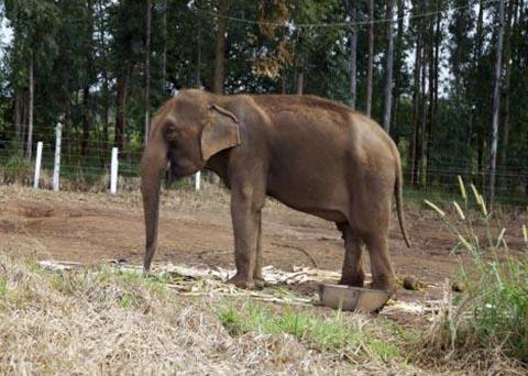 Foto: Divulgação/ Santuário de Elefantes Brasil