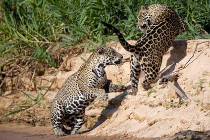 Panthera onca - Foto: ussieanouk/Fotolia.com