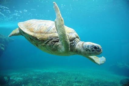Foto: Lafoudre/Fotolia.com Observatoire des tortues marines de Kélonia
