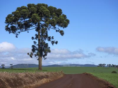 Araucaria angustifolia - Foto: nelsonaishikawa/Fotolia.com