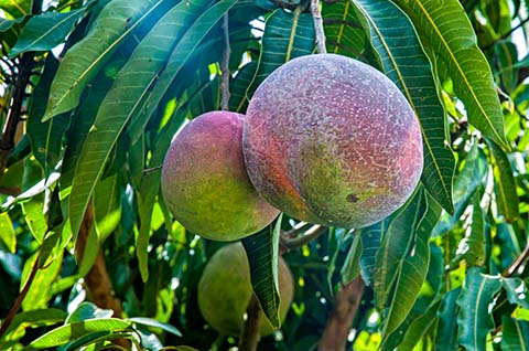 Mangos - Foto: sabiá brasilinfo
