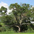 Caatinga: Wissenschaft entdeckt bei Bevölkerung beliebten Baum