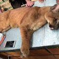 Brasilien: Puma in Baumarkt verirrt