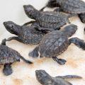 Salvador da Bahia: Erstmals wieder Meerschildkröten-Junge im Stadtbereich