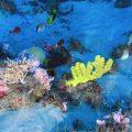 Amazonas-Delta: Einzigartiges Korallenriff durch Ölförderung bedroht
