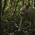 Biologen entdecken im Atlantischen Regenwald weißen Puma