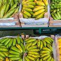 Brasiliens Forscher setzen auf darmfreundliches Mehl aus grünen Bananen