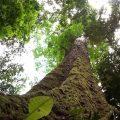 Forscher entdecken Regenwald-Giganten
