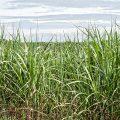 Biotreibstoffe: Bolsonaro gibt Amazonas-Region und Pantanal für Anbau von Zuckerrohr frei