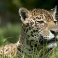 Forschungserfolg im Nationalpark Iguaçu: Zahl der Jaguare steigend