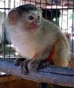 macaco-foto_divulgacao_goeldi