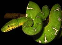 Cobra-papagaio
