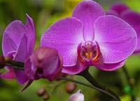 Orquidea-vermelha