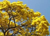 Pau-darco-amarelo