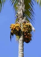 Pupunha-wikimedia
