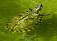 Tartaruga-da-amazonia