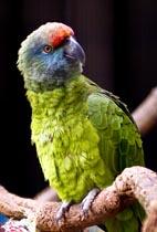 amazona-festiva-user-bodini-wikimedia