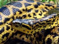 anaconda-neu