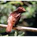 Curious red bird