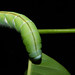 Amphonyx duponchel, comiendo Rollinia mucosa (Jacq.) Baill.