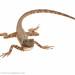 Mop-headed tree lizard