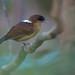 Pyriglena leuconota