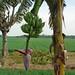 Bananenblüte und Reisfelder auf Java