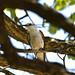 Lavadeira ou Noivinha Branca (Xolmis velatus) - White-rumped Monjita