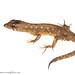Neusticurus cf. bicarinatus