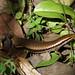 Mabuya nigropunctata, NGIDn1381016306