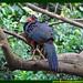 Amazônia Jacupiranga  Penelope pileata CRACIDAE Floresta Água do Norte Celcoimbra Site Santarém Amazonia Amazonica Amazônica Amazon DEF Marketing Turismo hotel 2E