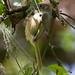 Verdinho-coroado (Hylophilus poicilotis)