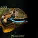 Blue-lipped Tree Lizard (Plica umbra)